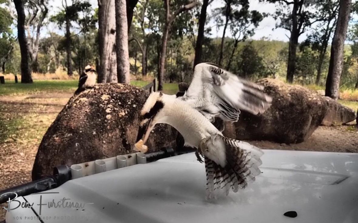 Easy pickup, Atherton Tablelands, Far North Queensland, Australia