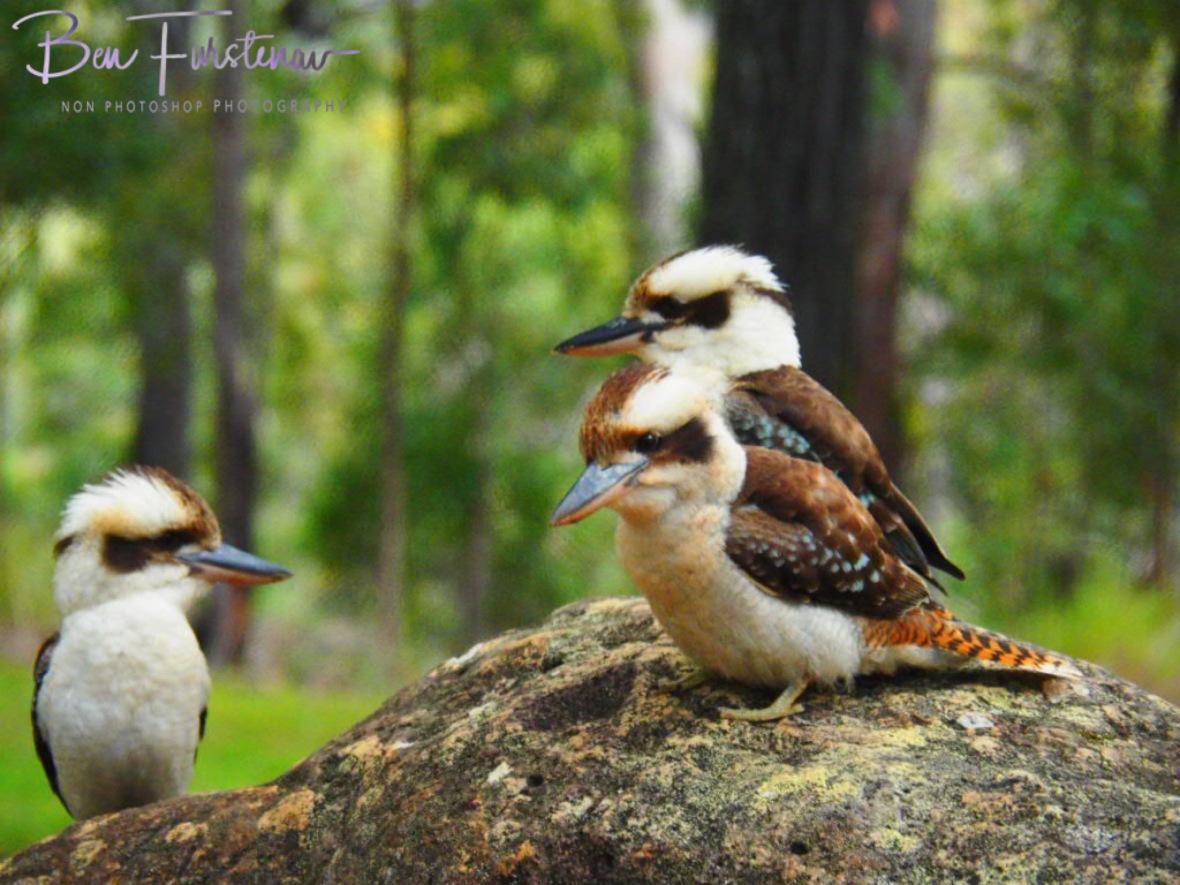 Three pack, Atherton Tablelands, Far North Queensland, Australia