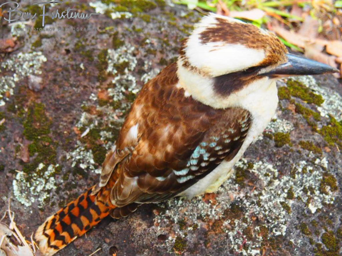 Feather spectrum, Atherton Tablelands, Far North Queensland, Australia