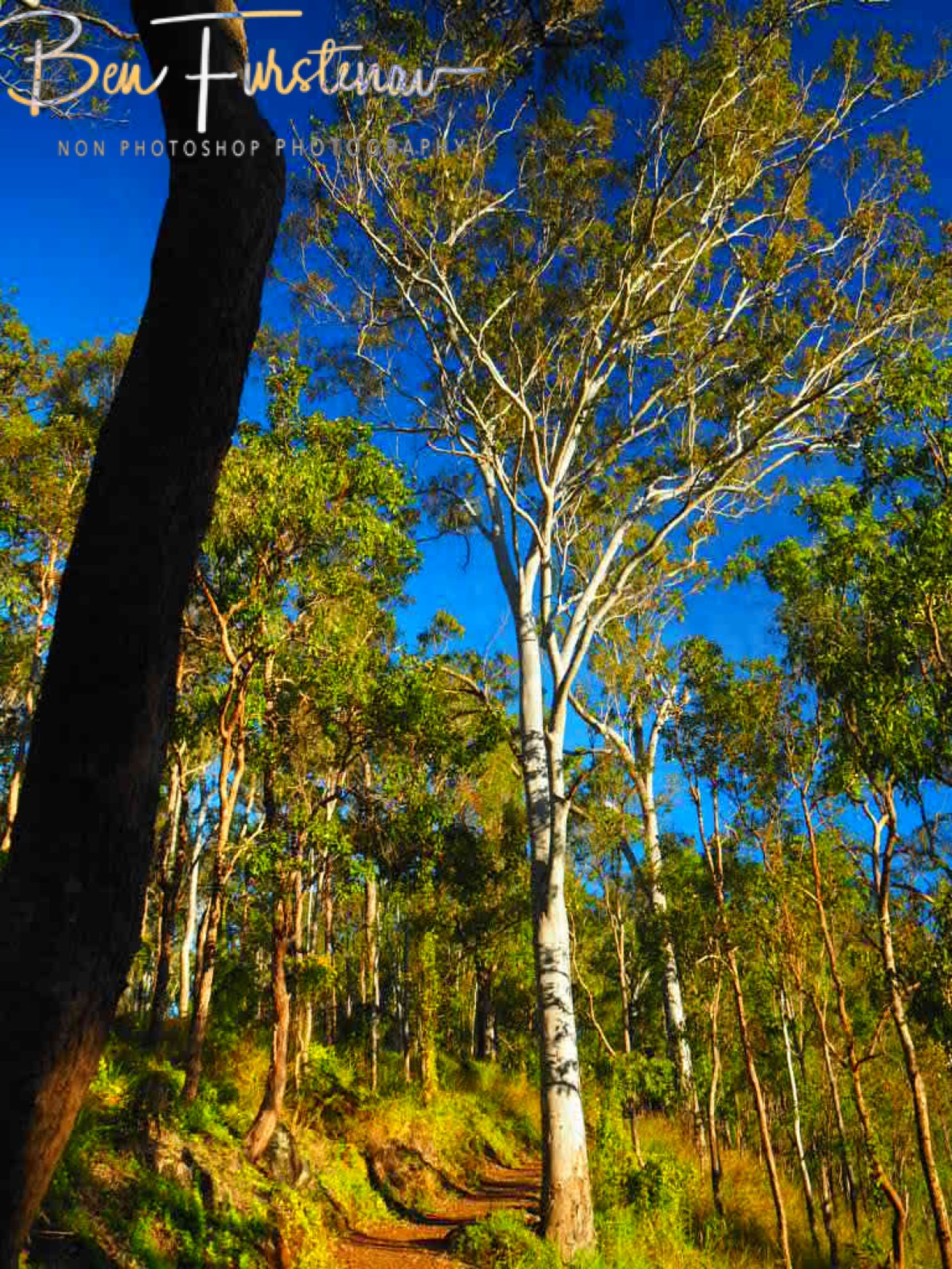 Eucalyptus forest on Atherton Tablelands western slopes, Far North Queensland, Australia