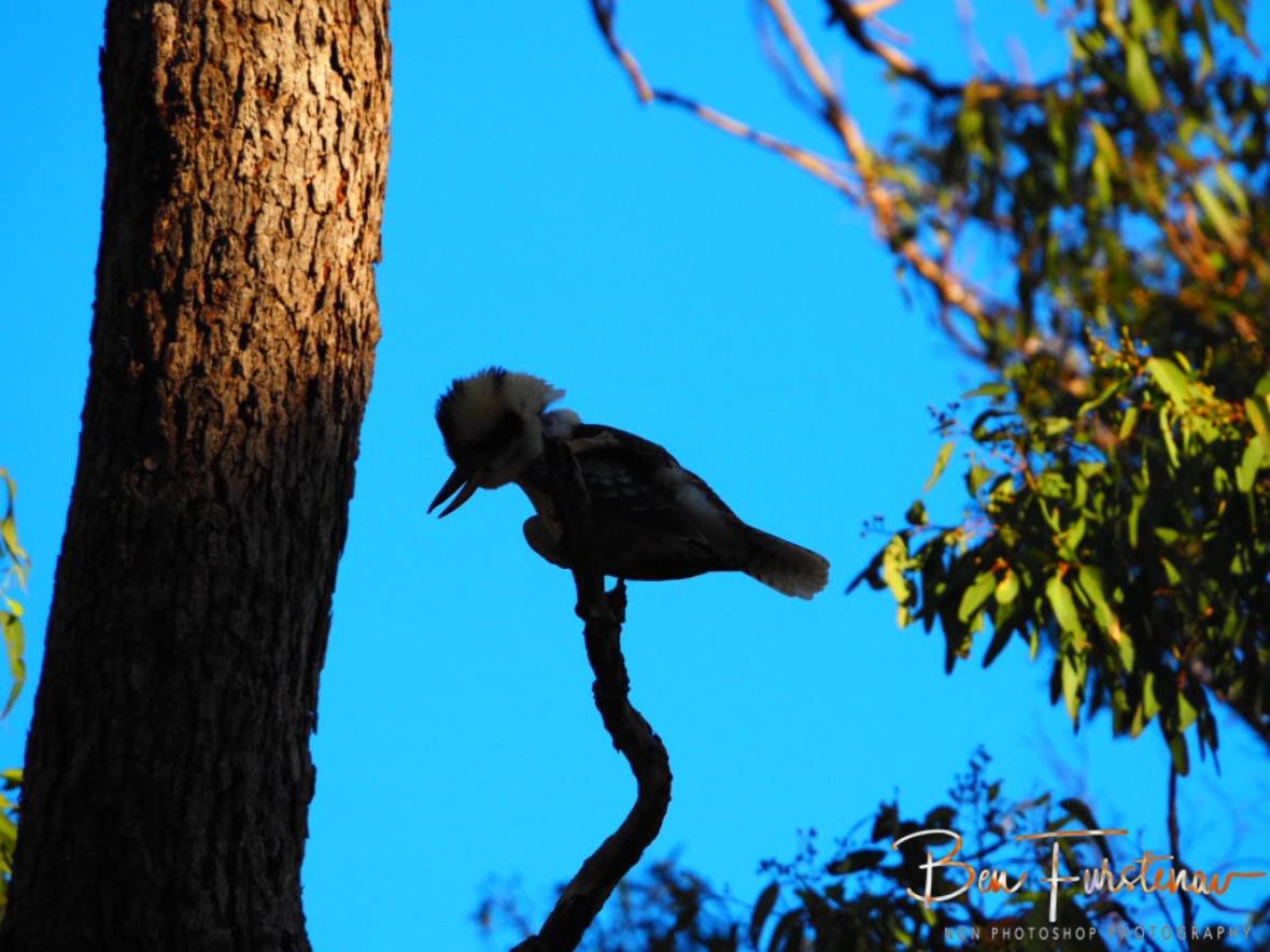 Kookaburra call through eucalyptus forest at Atherton Tablelands, Far North Queensland, Australia