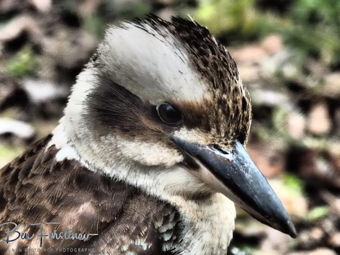 Piercing look, Atherton Tablelands, Far North Queensland, Australia