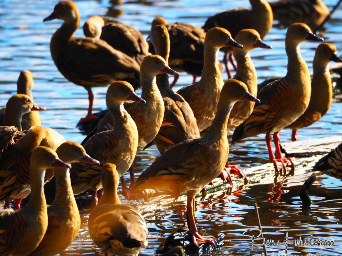 Whistling Ducks at Hasties Swamp next Atherton, Atherton Tablelands, Far North Queensland, Australia