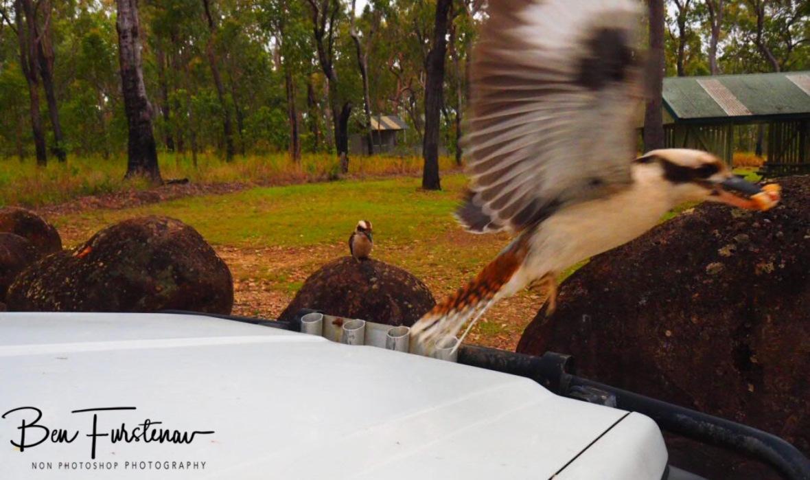 Surprise attack, Atherton Tablelands, Far North Queensland, Australia