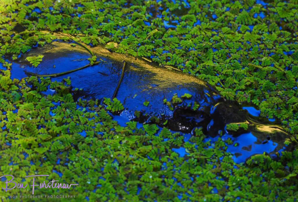 Platypus foraging through green carpet at Atherton Tablelands, Far North Queensland, Australia
