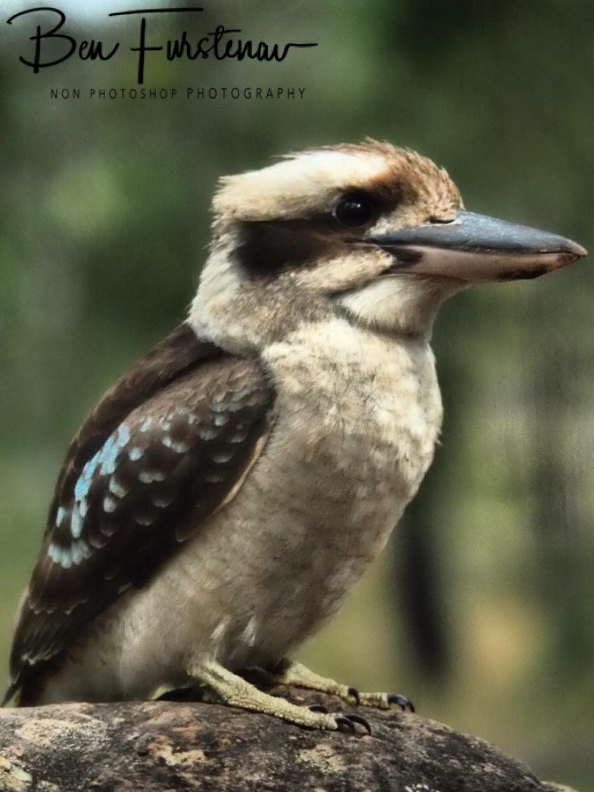 Perceval and observant, Atherton Tablelands, Far North Queensland, Australia