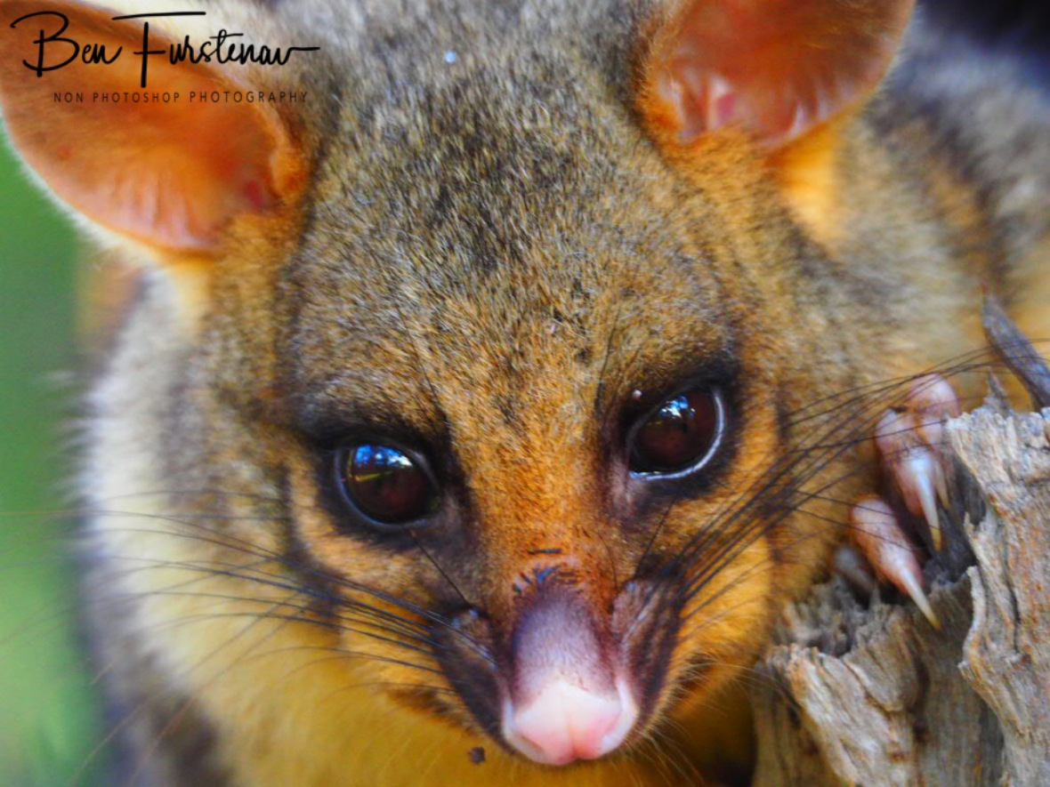 Shiny reflections in possum's eyes, Atherton Tablelands, Far North Queensland, Australia