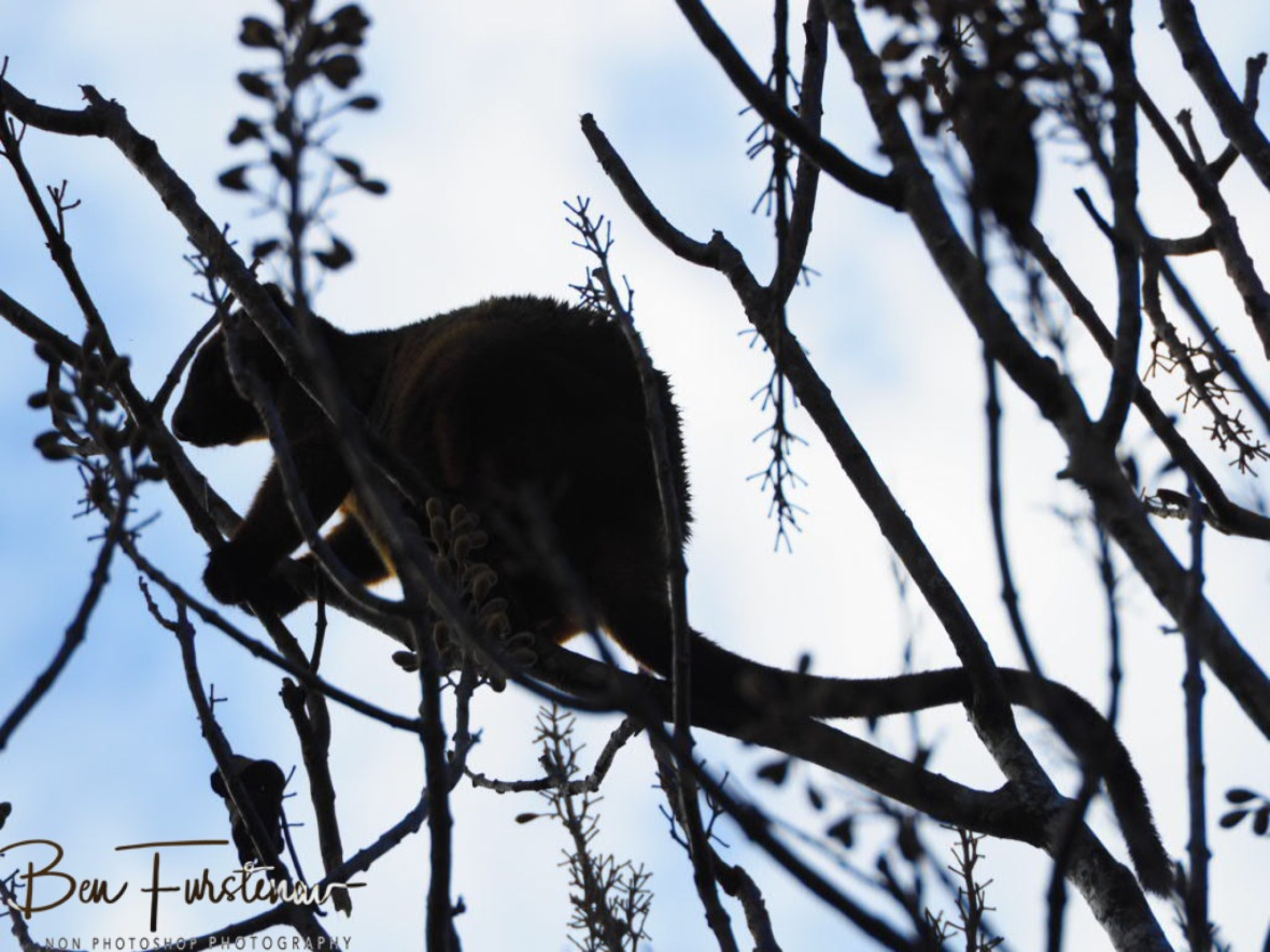 Tree Kangaroo silhouette at Atherton Tablelands, Far North Queensland, Australia
