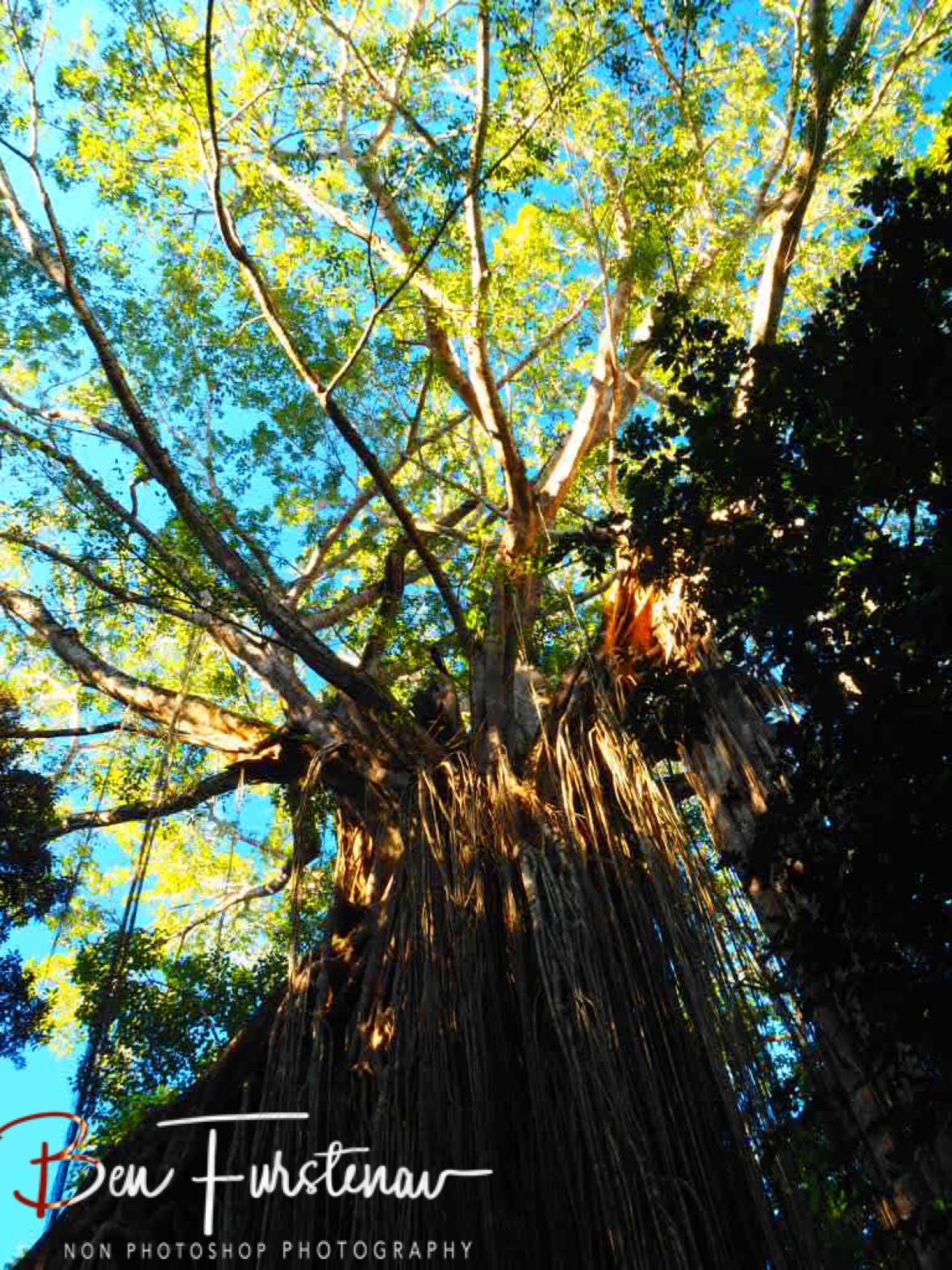 Fig tree in blue skies st Atherton Tablelands, Far North Queensland, Australia