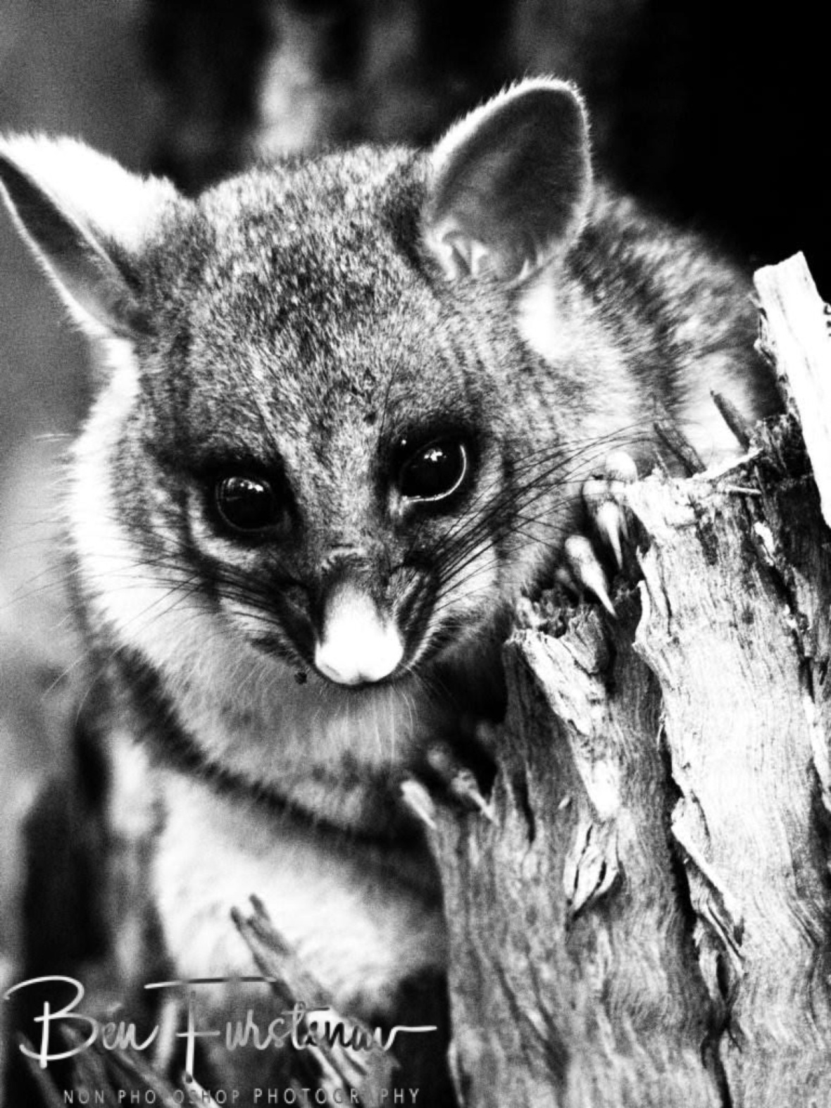 Cute in black and white, Atherton Tablelands, Far North Queensland, Australia