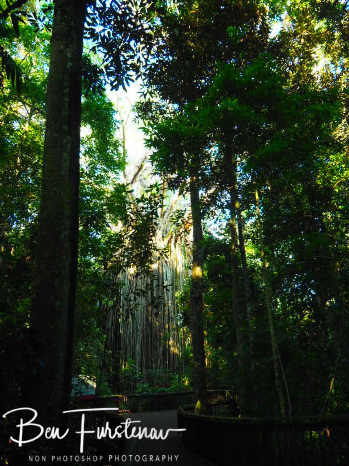 Curtain Fig Tree from a distance, Atherton Tablelands, Far North Queensland, Australia