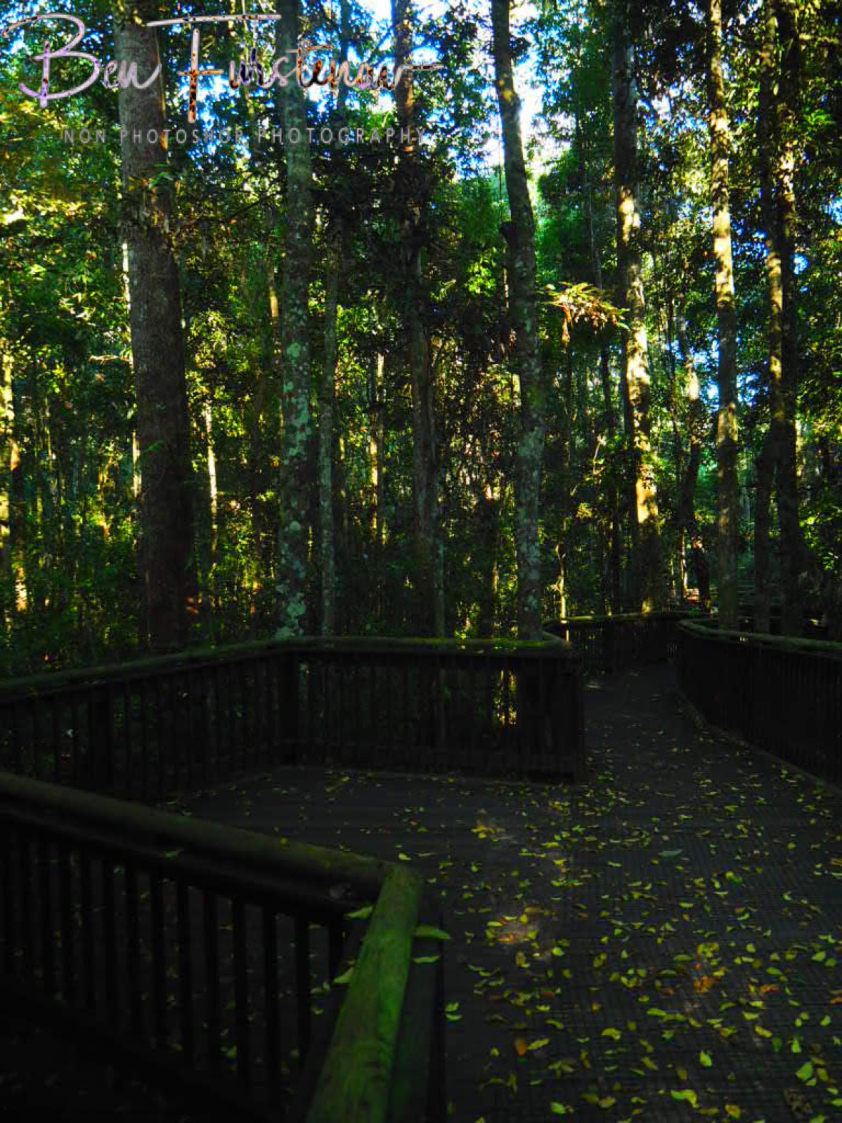 Well fitted boardwalk around curtain fig tree at Atherton Tablelands, Far North Queensland, Australia