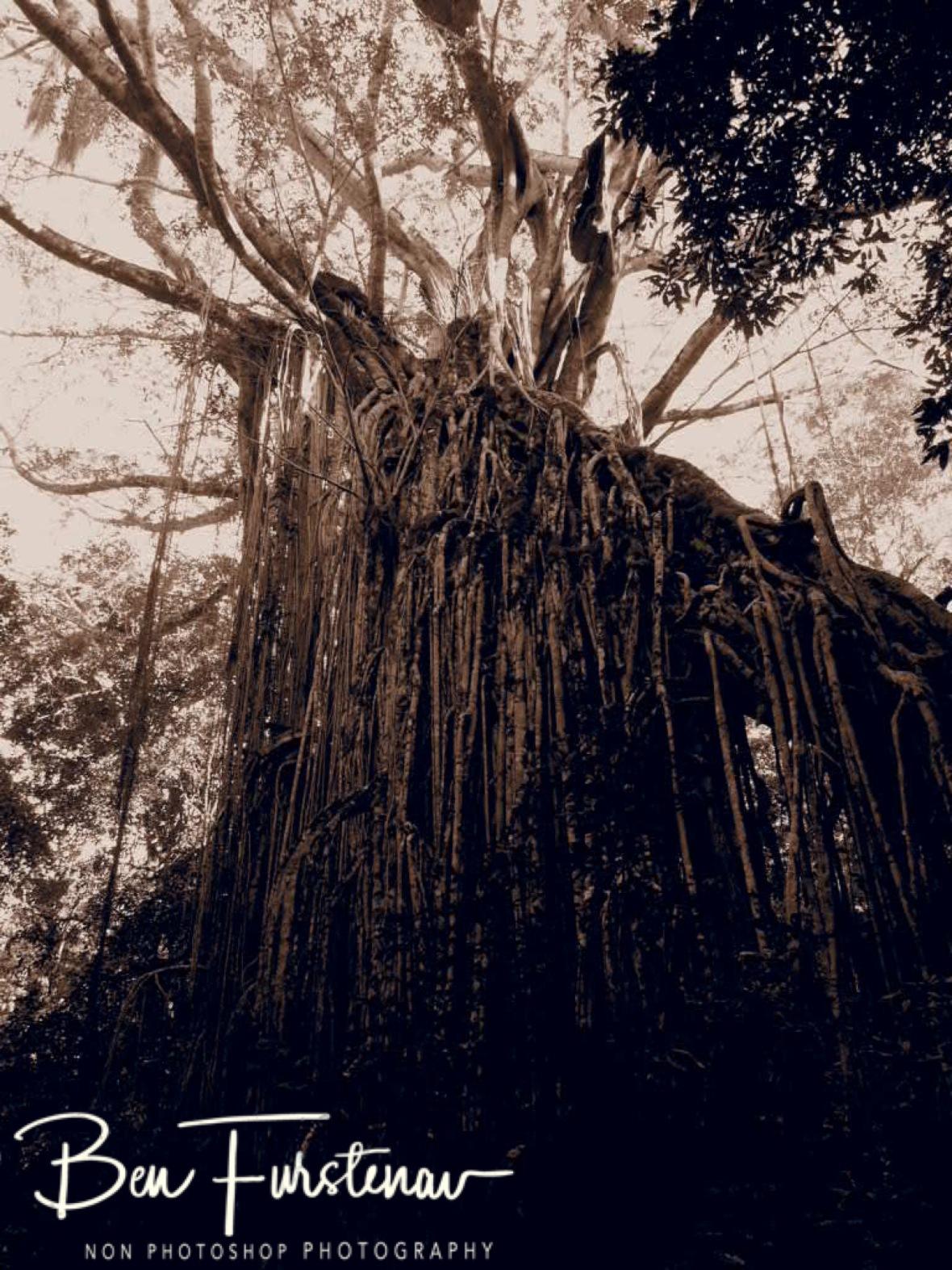 Curtain Fig Tree in sepia, Atherton Tablelands, Far North Queensland, Australia