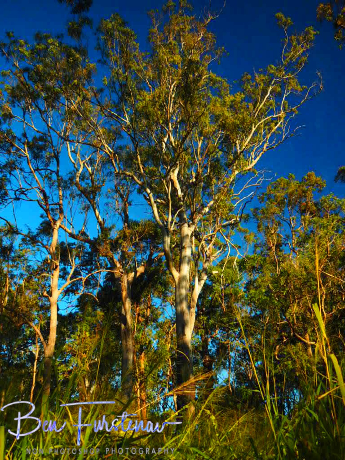 Eucalyptus forest in blue skies, Atherton Tablelands, Far North Queensland, Australia