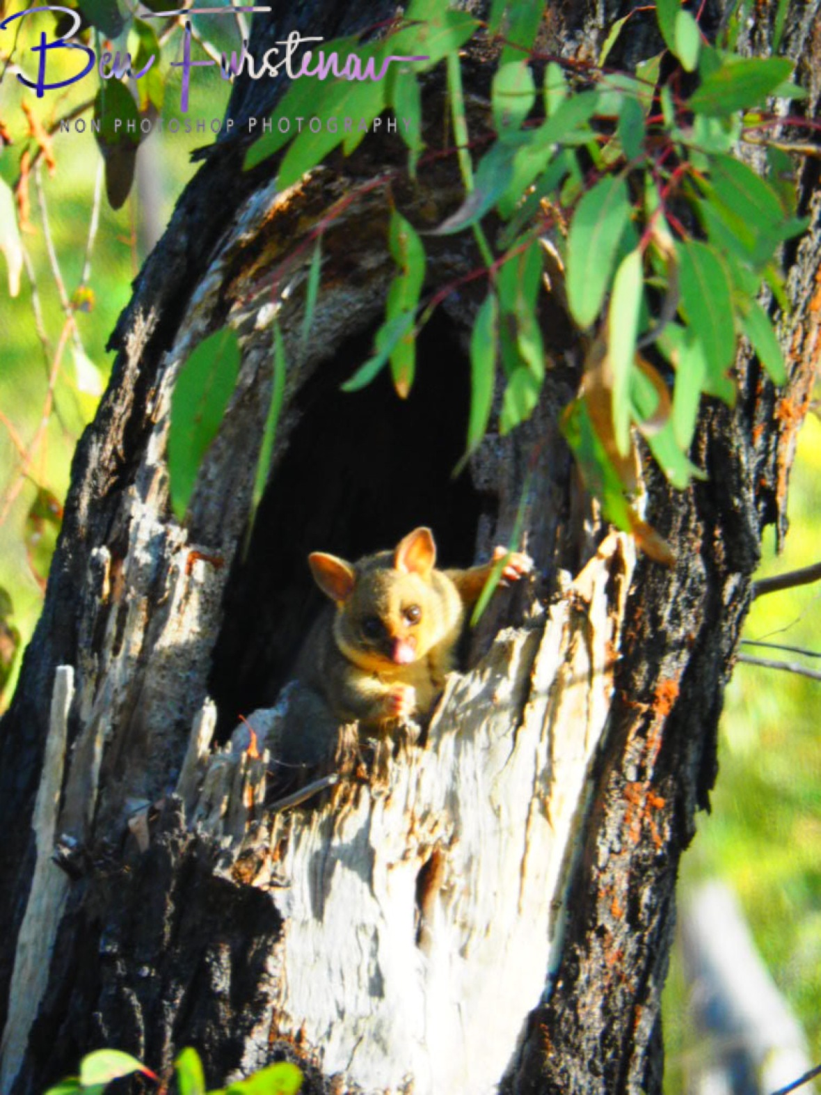 Brushtail Possum at home at Atherton Tablelands, Far North Queensland, Australia