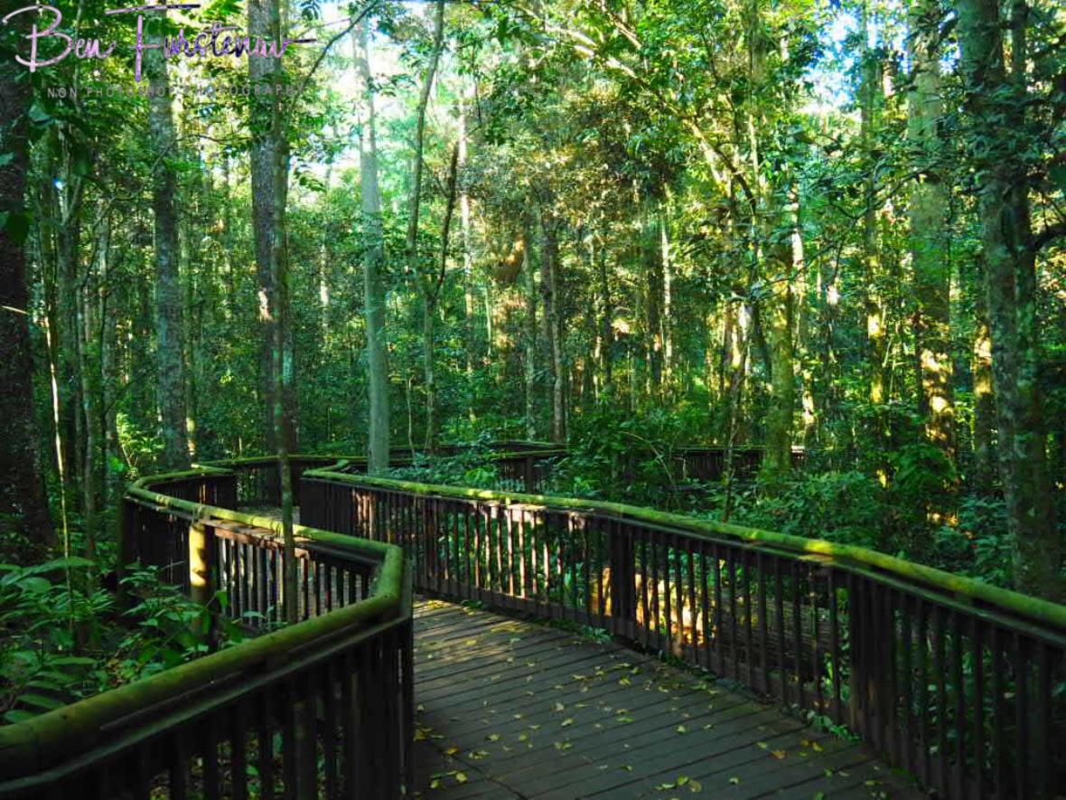 Loop track boardwalk around curtain fig tree, Atherton Tablelands, Far North Queensland, Australia