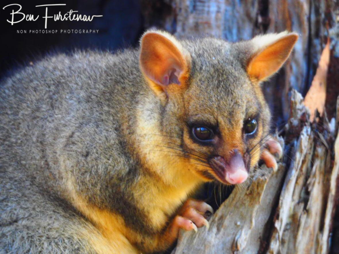 Hungry possum? Far North Queensland, Australia