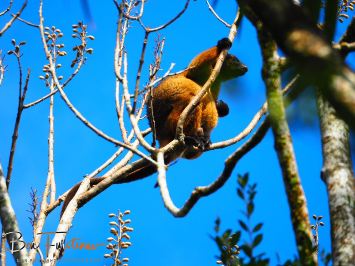 Restless tree kangaroo at Atherton Tablelands, Far North Queensland, Australia