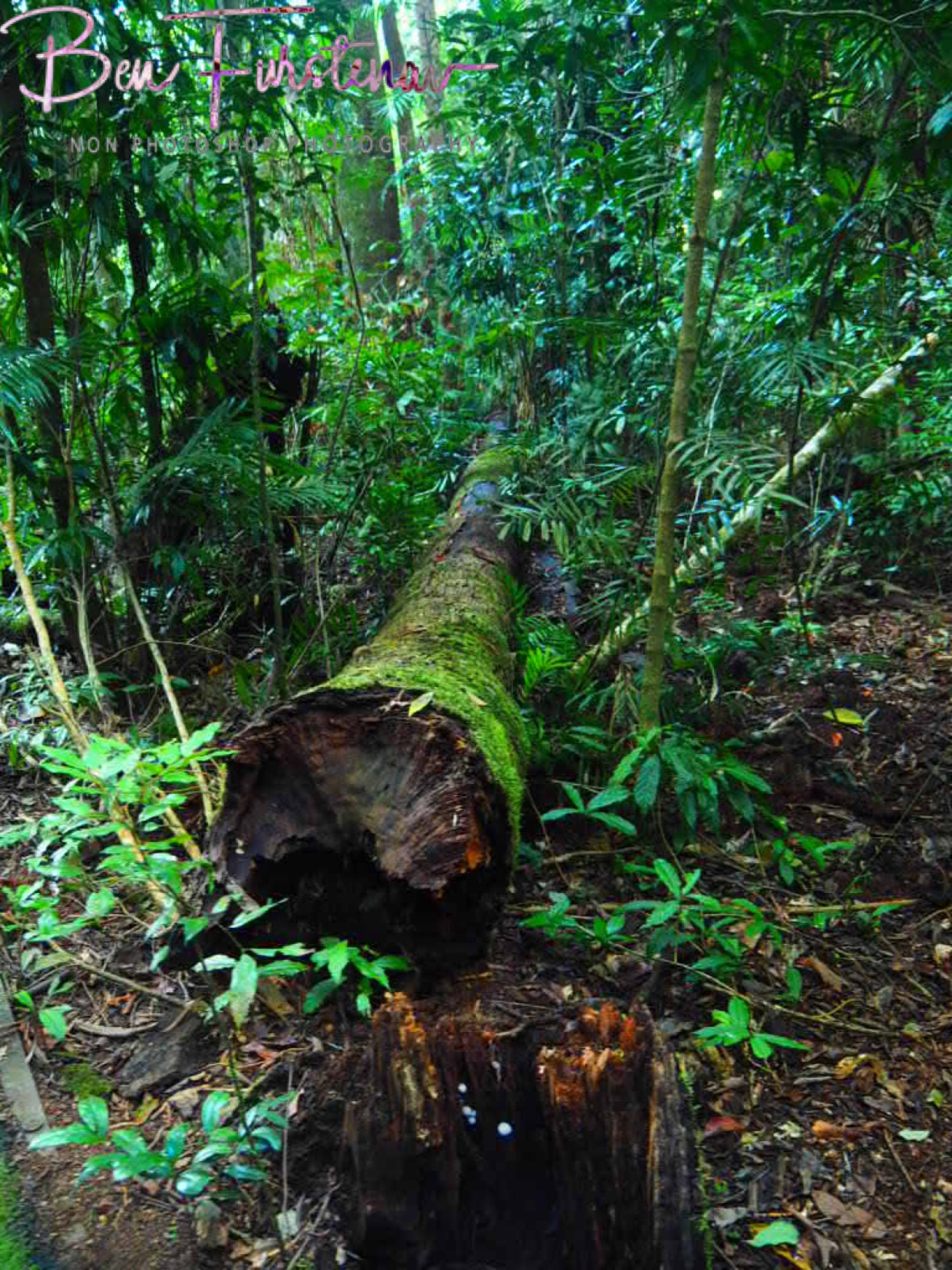 Thick forest at Atherton Tablelands, Far North Queensland, Australia