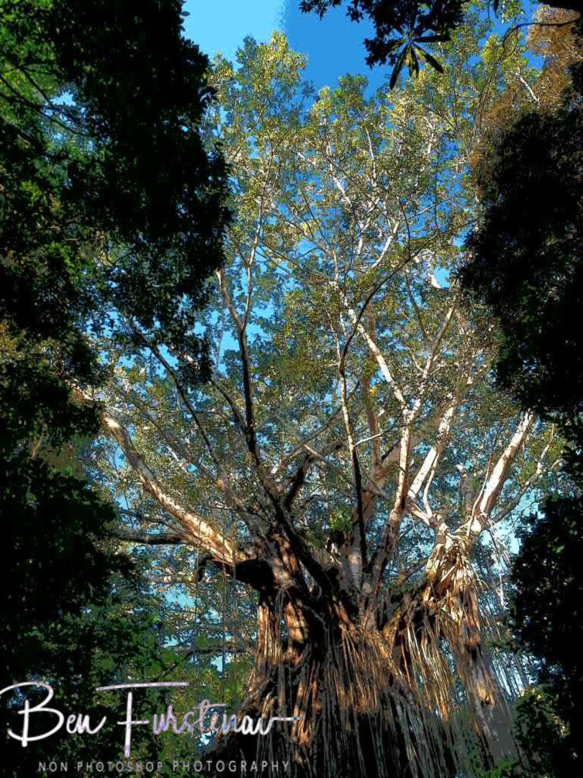 Impressive dimensions, Atherton Tablelands, Far North Queensland, Australia