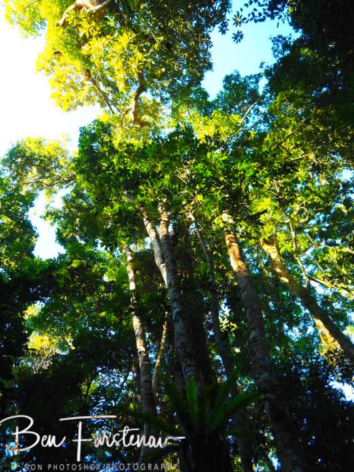Surrounding trees at curtain fig tree at Atherton Tablelands, Far North Queensland, Australia