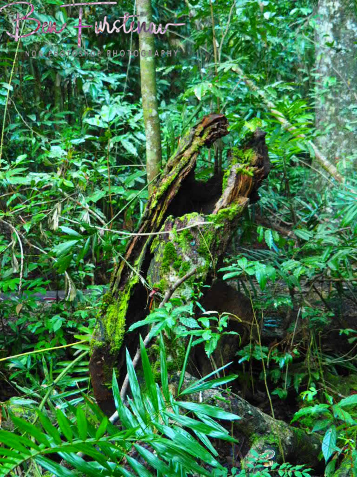 Endangered Mabi forest at Atherton Tablelands, Far North Queensland, Australia