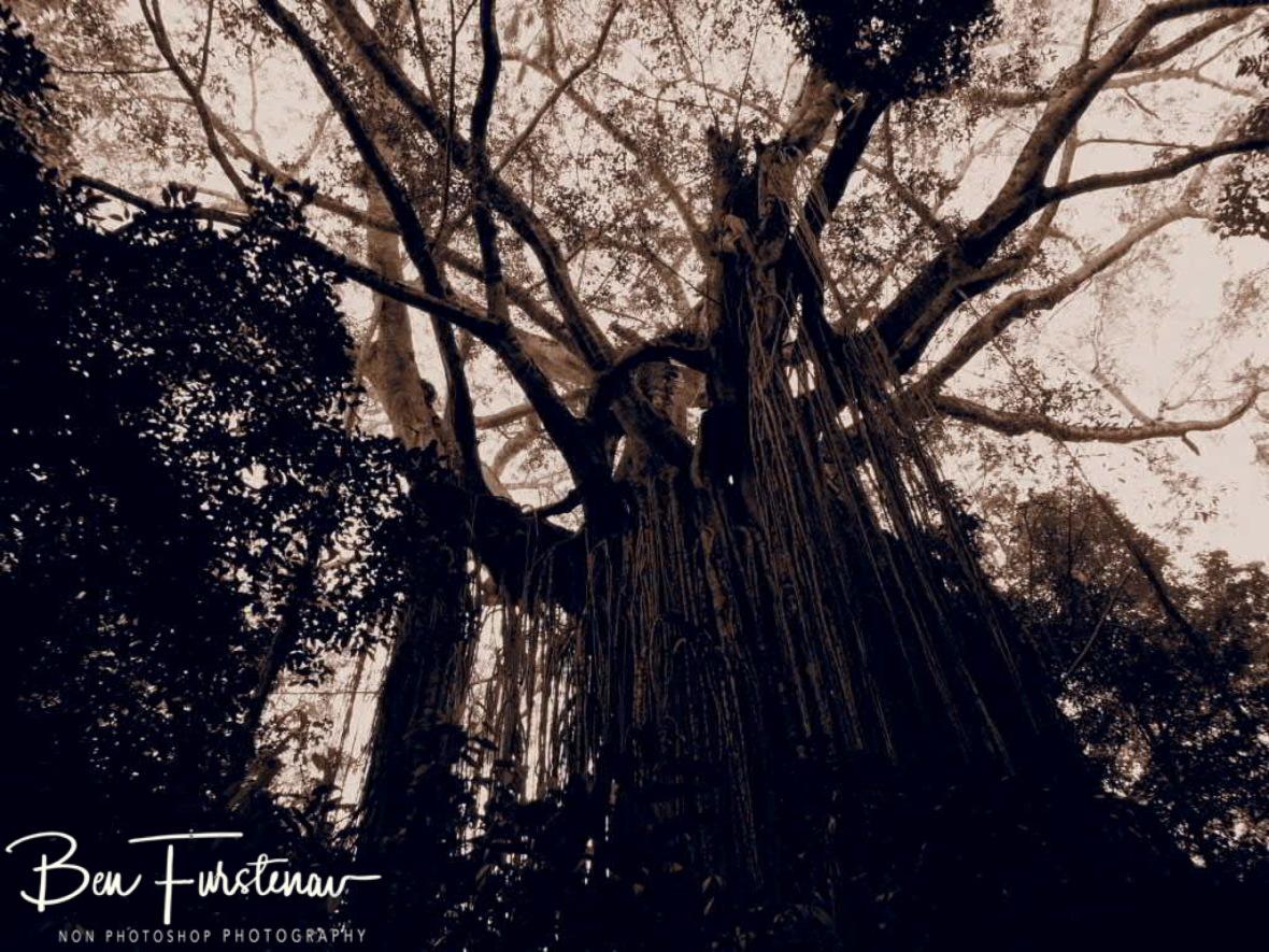 Strangler Fig Tree at Atherton Tablelands, Far North Queensland, Australia