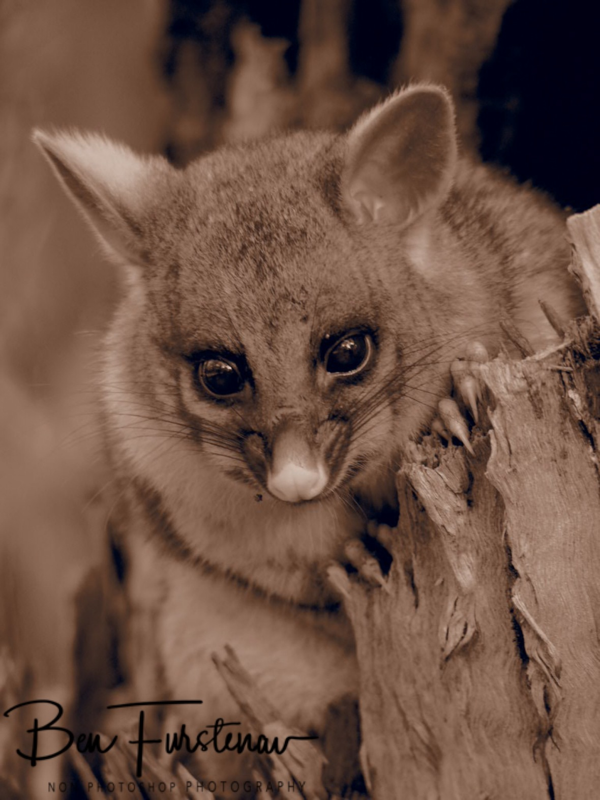 Ear movement in sepia, Atherton Tablelands, Far North Queensland, Australia