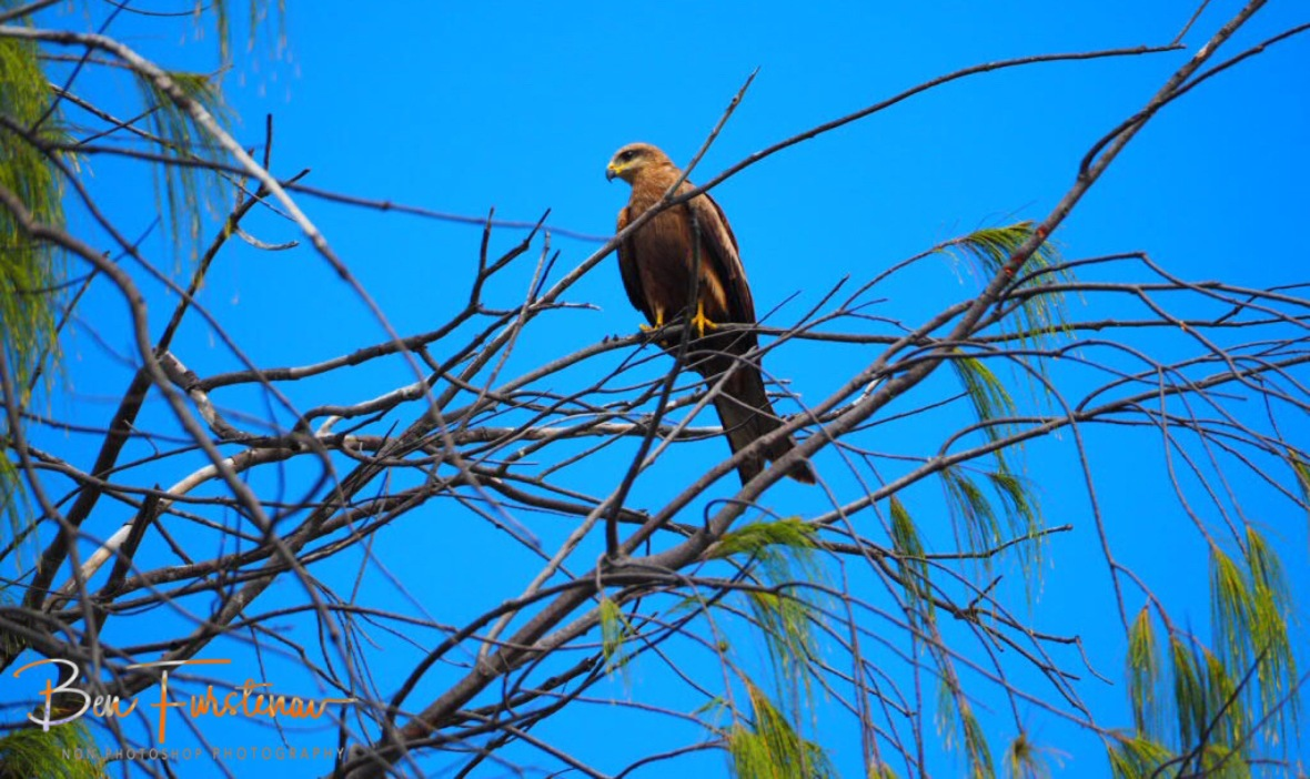 Common falcon in Townsville, Far North Queensland, Australia