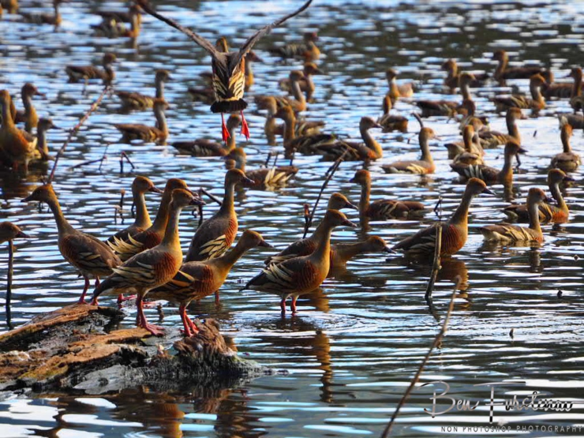 Scrambling ducks at Hasties Swamp, Atherton Tablelands, Far North Queensland, Australia