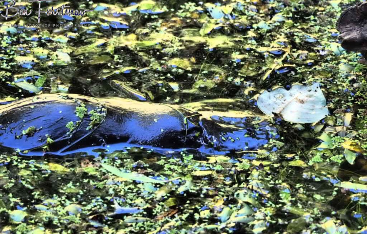 Ambush camouflage at Paterson Creek, Yungaburra, Atherton Tablelands, Far North Queensland, Australia