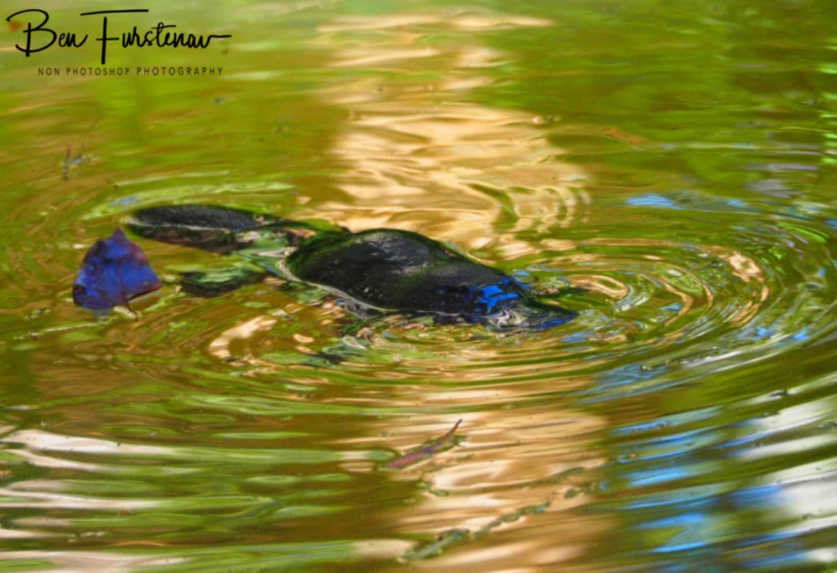 Another platypus at Yungaburra, Atherton Tablelands, Far North Queensland, Australia