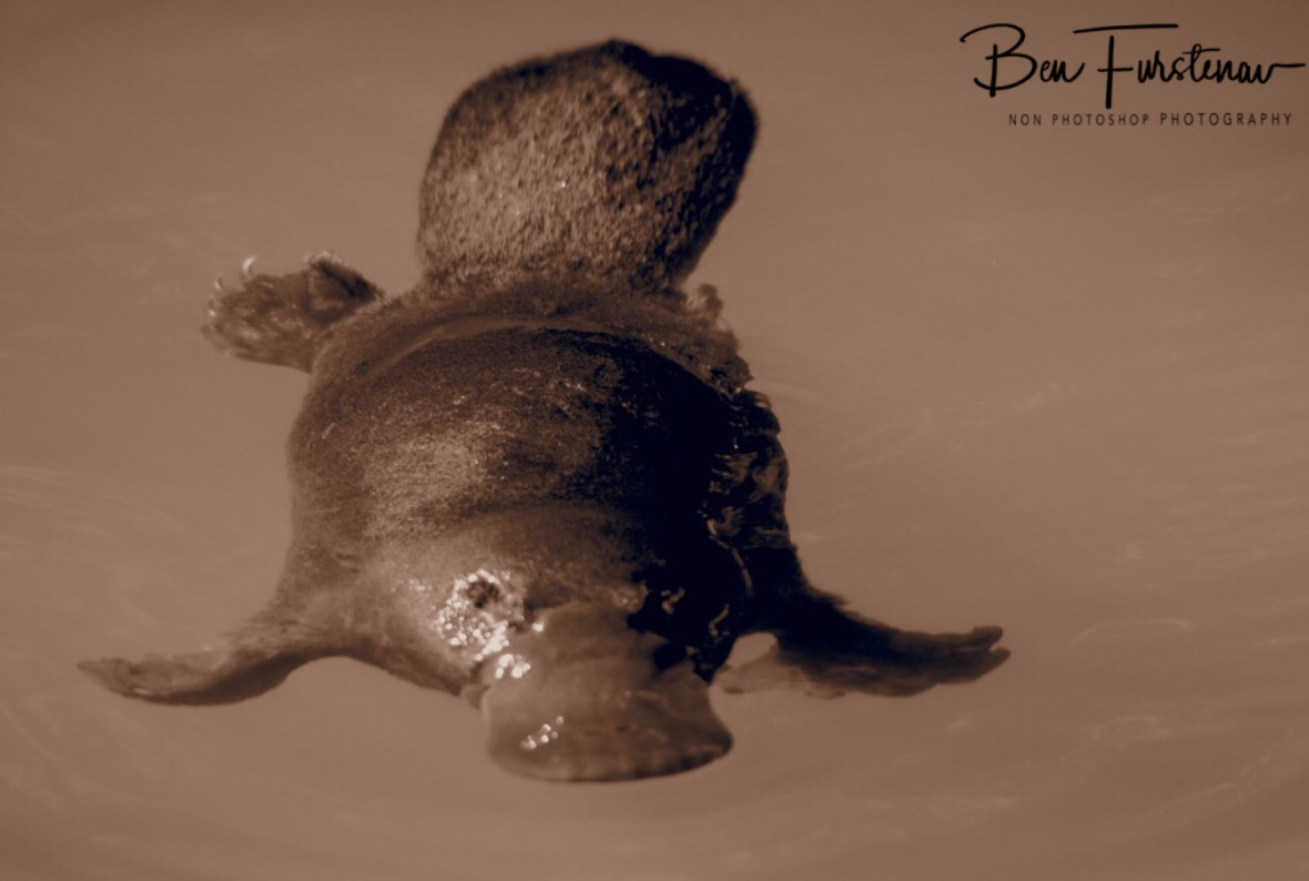 Platypus in sepia at Yungaburra, Atherton Tablelands, Far North Queensland, Australia