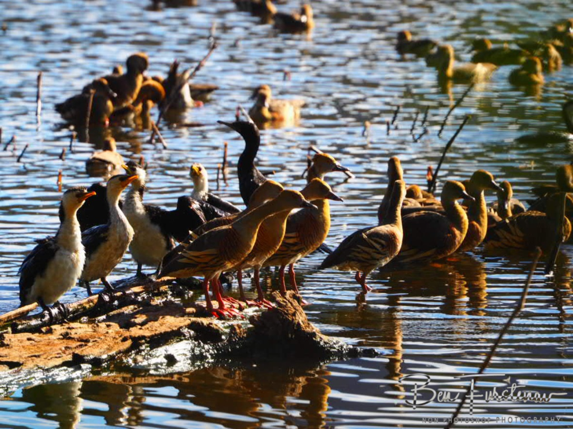 Swamped with ducks at Atherton Tablelands, Far North Queensland, Australia