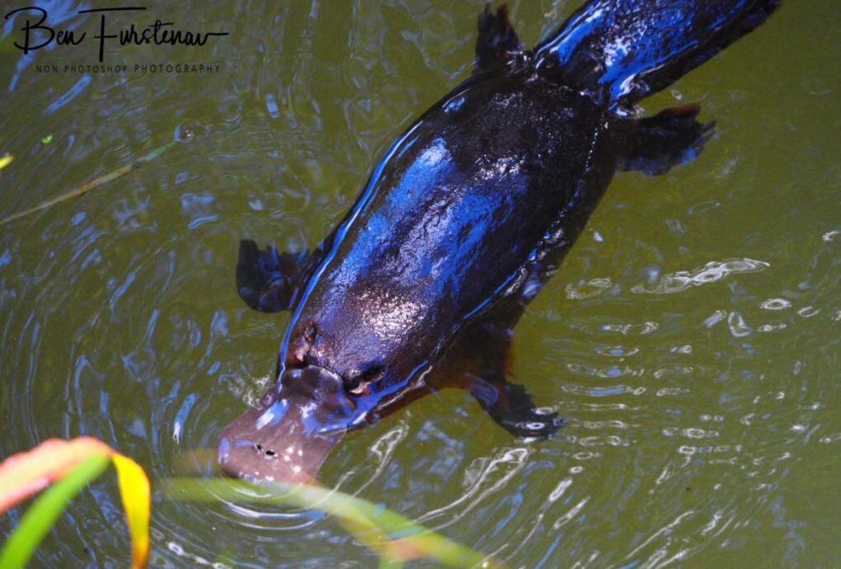 Platypus visit at Yungaburra, Atherton Tablelands, Far North Queensland, Australia