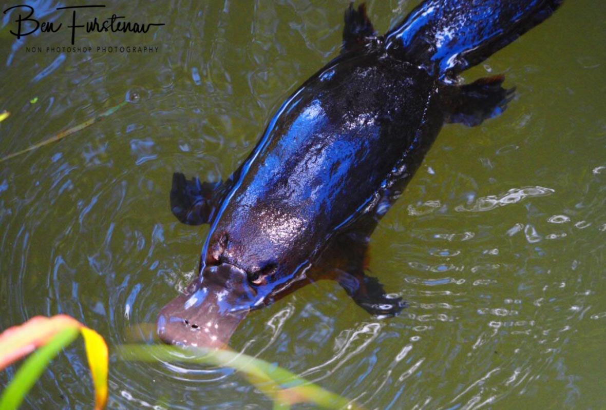 Platypus visit at Yungaburra, Atherton Tablelands, Far North Queensland, Australia