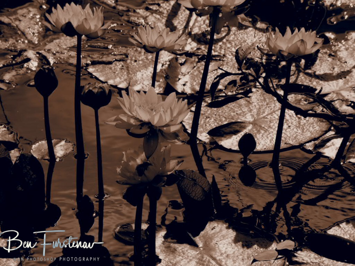 Water Lilies in sepia at Atherton Tablelands, Far North Queensland, Australia