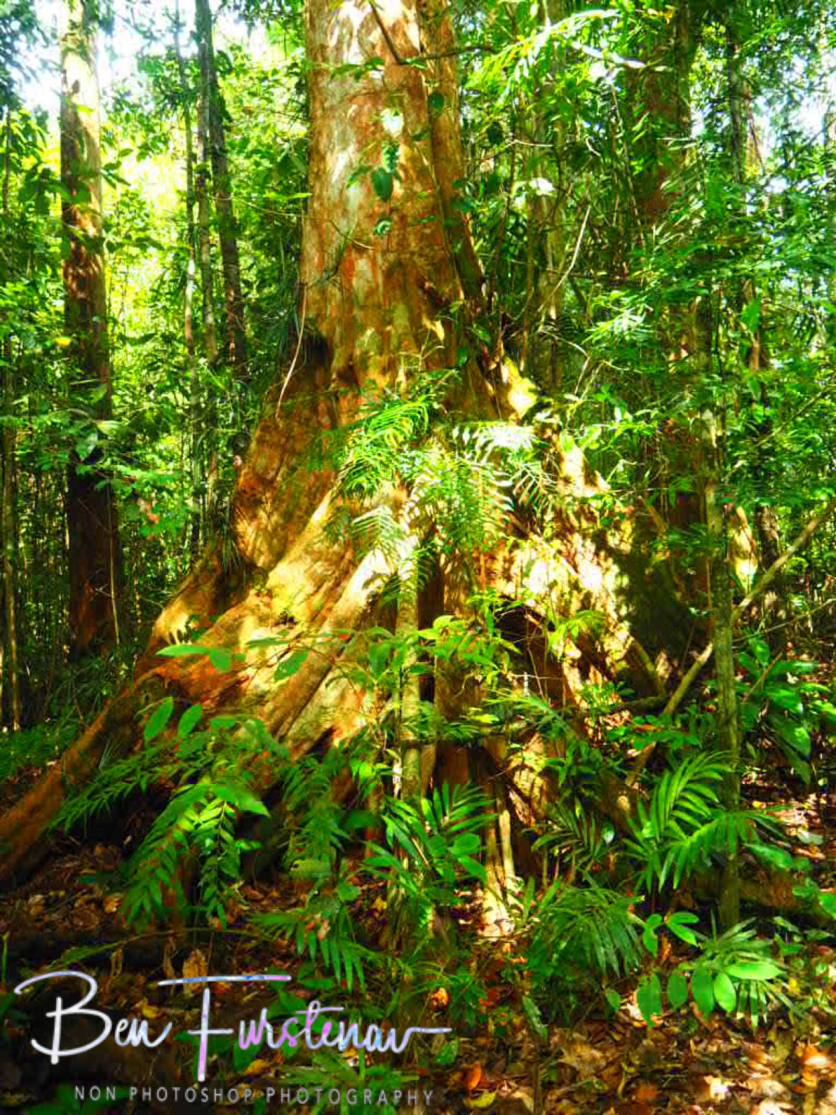 Ancient walking trees at Atherton Tablelands, Far North Queensland, Australia