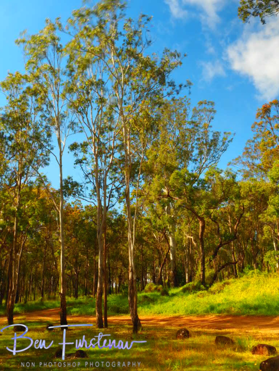 Eucalyptus at the carpark, Atherton Tablelands, Far North Queensland, Australia