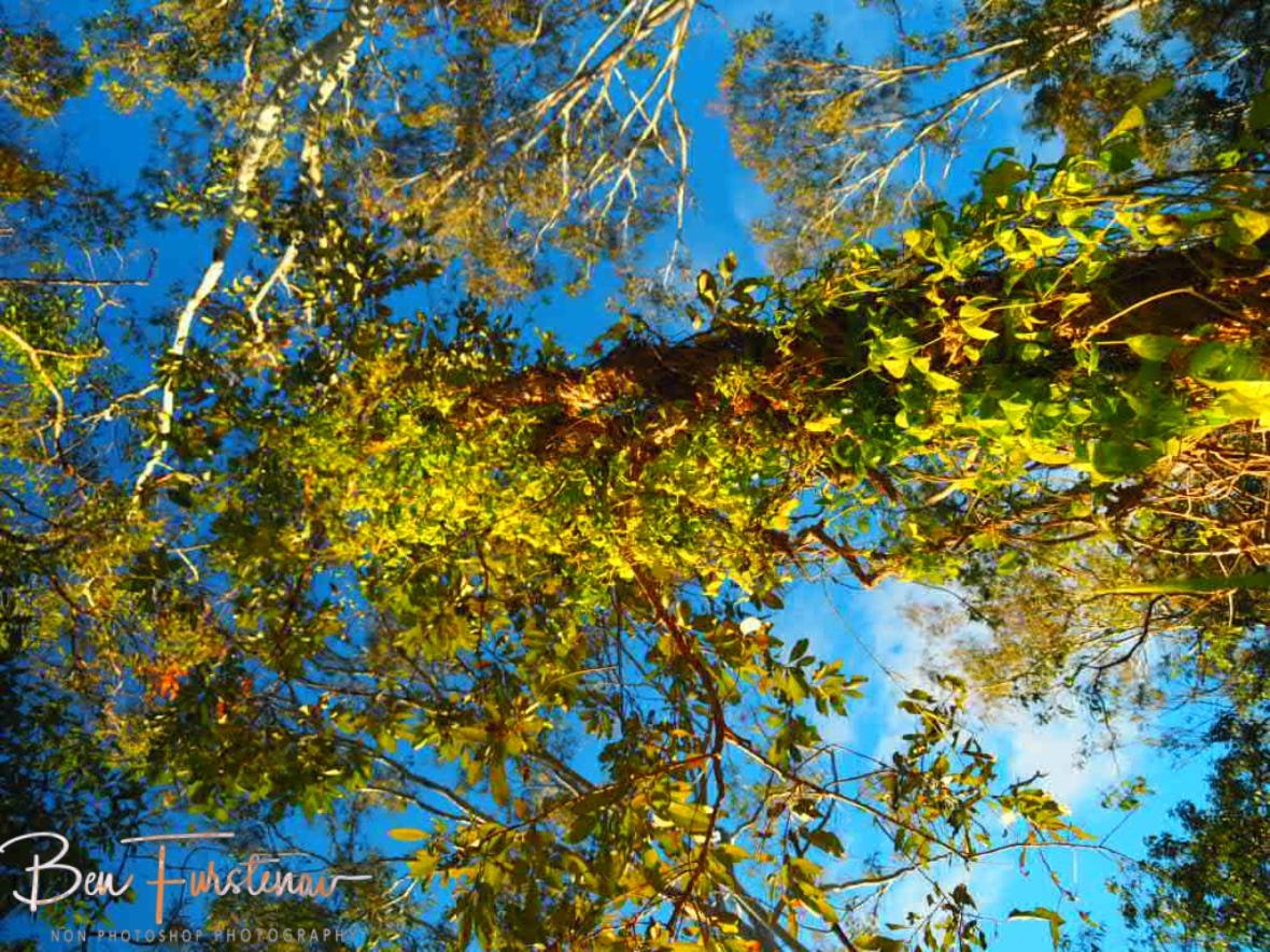Blooming Vines, Atherton Tablelands, Far North Queensland, Australia