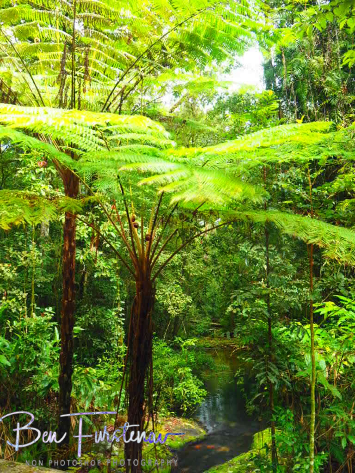 Tall ferns at Atherton Tablelands, far North Queensland, Australia