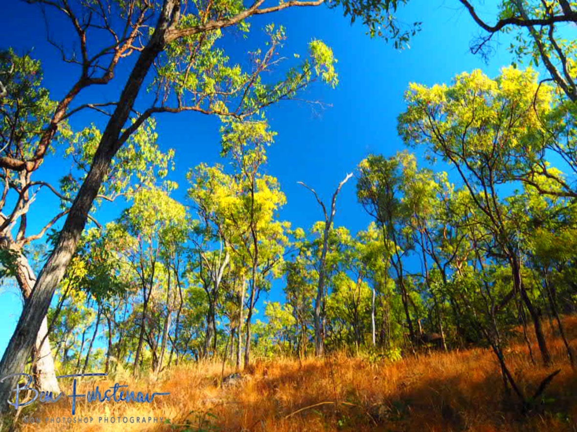 Open eucalyptus forest around Emerald Creek Falls on a sunny day, Atherton Tablelands, Far North Queensland, Australia