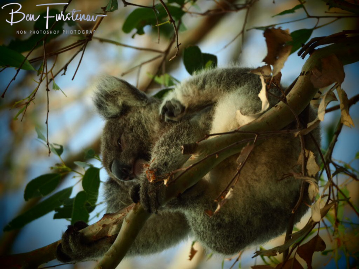 Koalas leaf here at Woodburn, Northern New South Wales, Australia