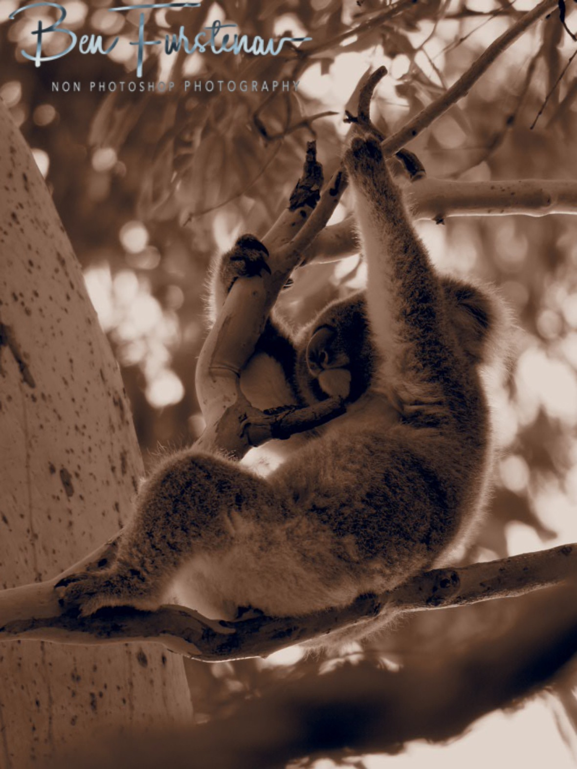 Resting koala in sepia at Woodburn, Northern New South Wales, Australia