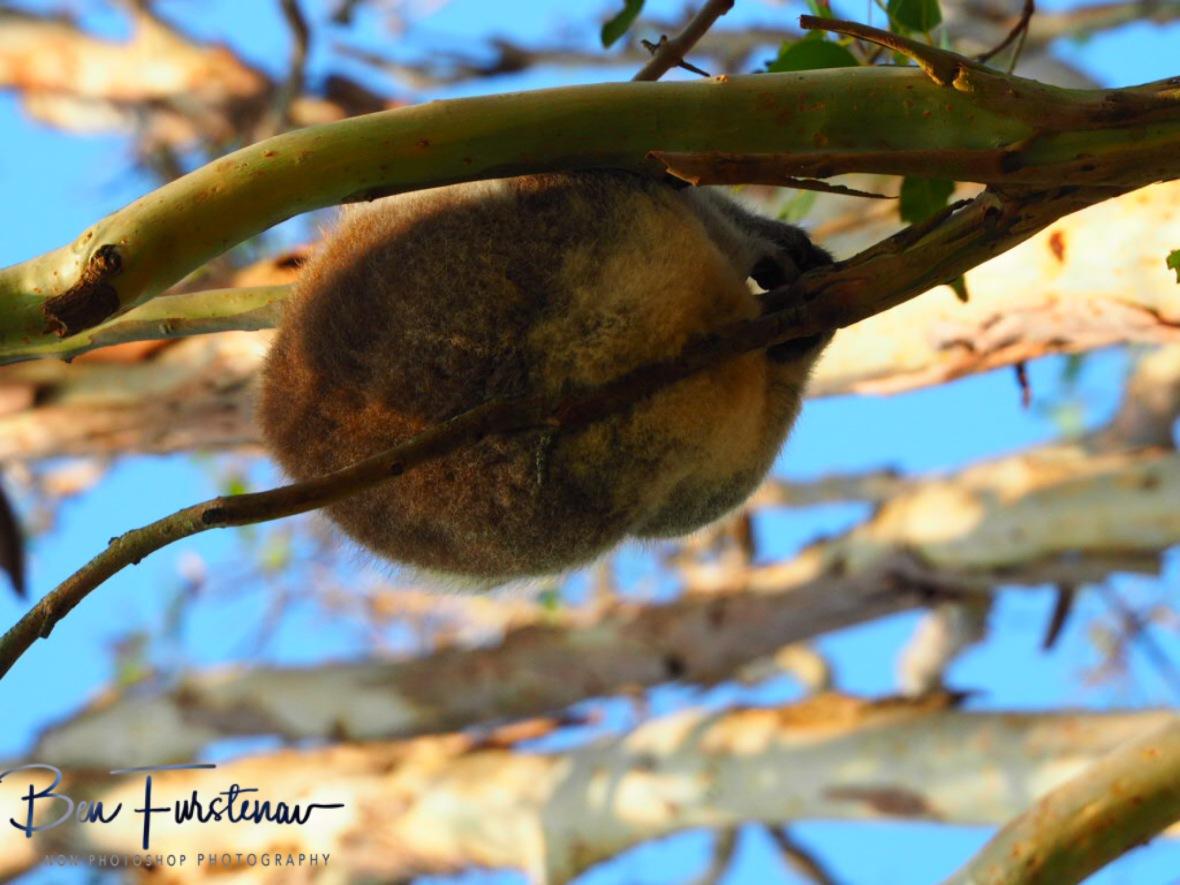 Drop-bear? at Woodburn, Northern New South Wales, Australia