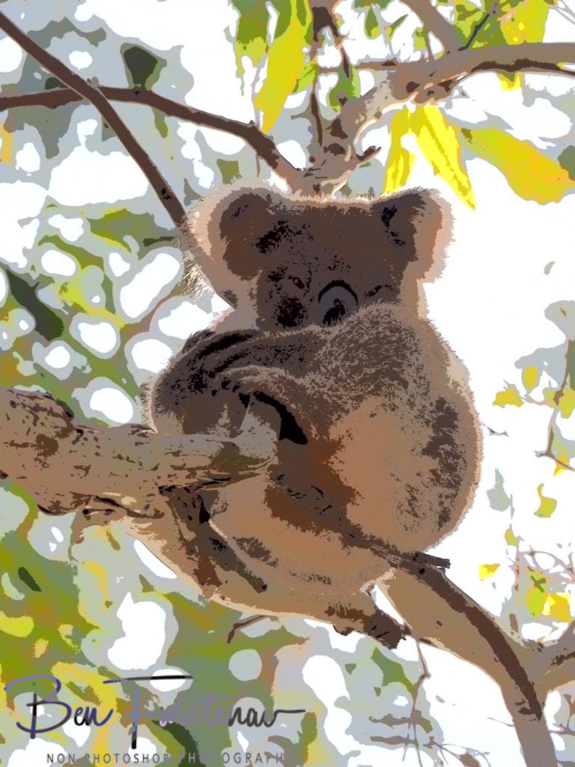 Sleepy koala at Woodburn, Northern New South Wales, Australia