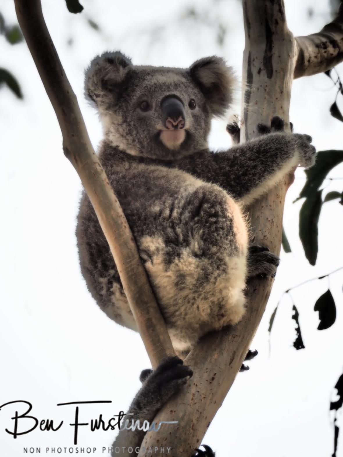 Koala nose imprint at Woodburn, Northern New South Wales, Australia