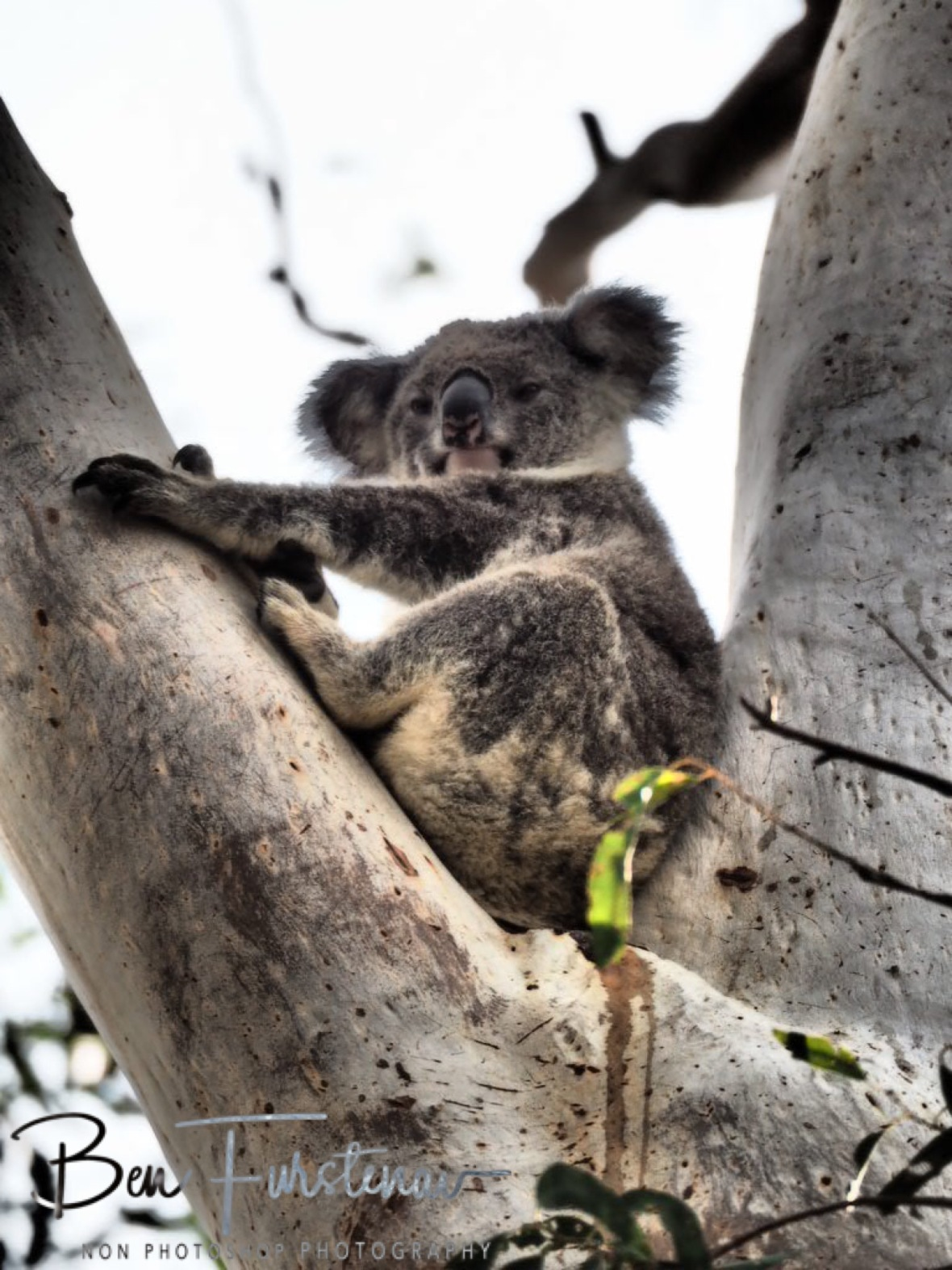 Koala with Antlers at Woodburn, Northern New South Wales, Australia