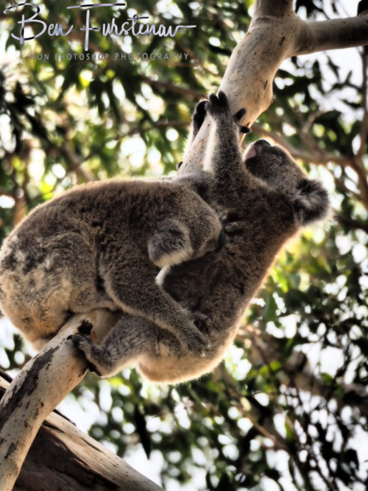 Koala fast food at Woodburn, Northern New South Wales, Australia