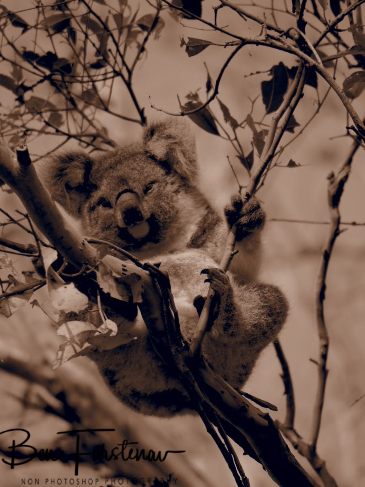 A smiley bear in sepia at Woodburn, Northern New South Wales, Australia